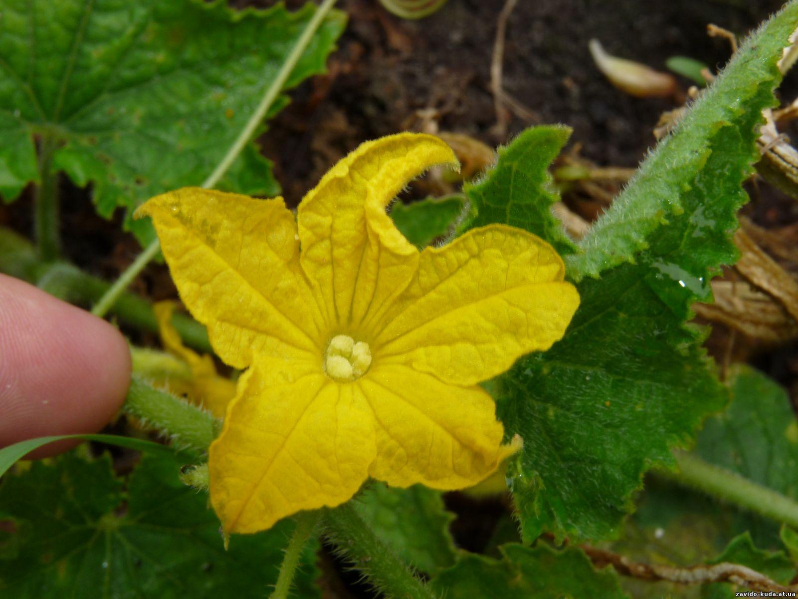 Женские мужские цветки огурца фото